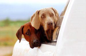 כלבים ורכבים